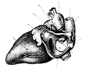 Authentic Vintage Anatomy Heart Engraving Back and White Vector Illustration