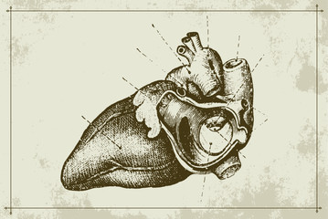 Authentic Vintage Anatomy Heart Engraving Vector Illustration