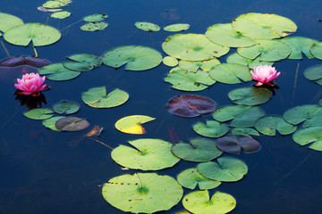 Poster Water lilies pink water lily