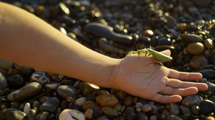 The boy holds in his hand a green praying mantis.. Big green mantis on hand
