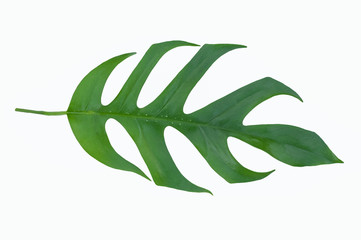 Green leaf of tropical jungle on white background
