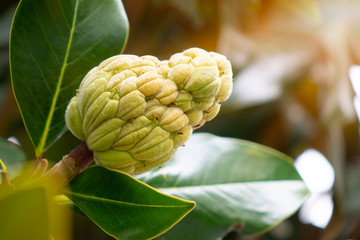 The Magnolia tree exhibits seed pods or cones or fruit