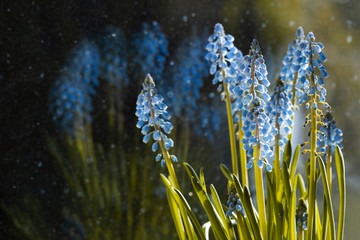 Blaue Blumen - Traubenhyazinthen (Muscari)