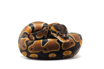 ball python isolated on white background