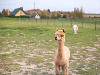 Brown Alpaca on green field on the farm