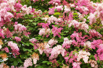 Dwarf Korean Lilac (Syringa meyeri) pink and purple flowers, and green leaves on small bush. Spring nature background.