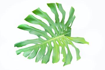 Green Monstera leaves on white