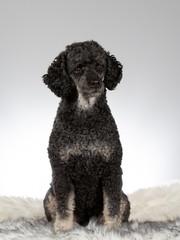Black poodle portrait. Image taken in a studio