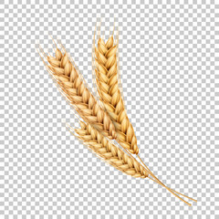Fototapeta Vector wheat ears spikelets realistic with grains
