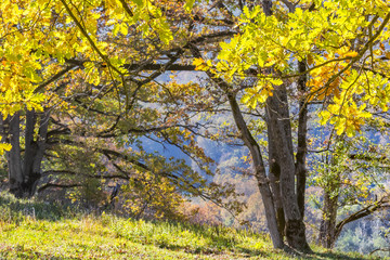 Oaks with yellow leaves in the autumn mountains, close-up
