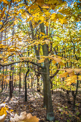 The oak tree in autumn