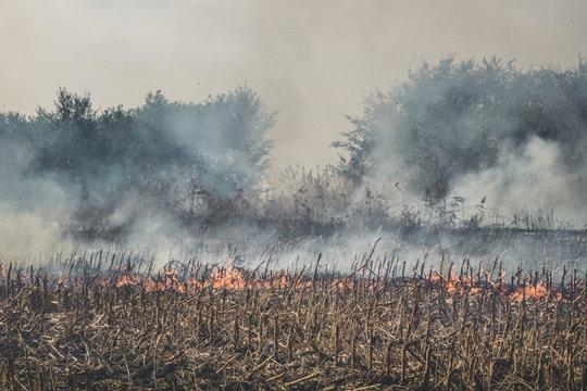 Fire set on corn field.Burning corn field after the harvest