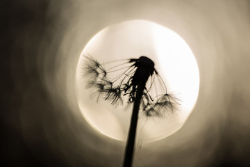 background with dandelion seeds in front of the sun