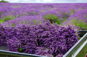 Freshly harvested lavender in the flat bed of a pick up truck, with a field of herbal lavender flowers in the background