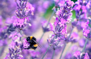 Foto auf Acrylglas Bienen Bee pollinating herbal lavender flowers in a field. England, UK