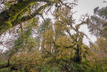 Green forest with moss. Howland Hill RD, Redwoods State Park