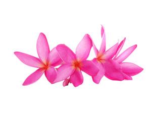 Pink Frangipani flower isolated on white background