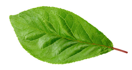 Plum leaf isolated Clipping Path