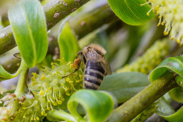 The honey bee collects the pollen from the willow. Not fluffy blooming inflorescences catkins holly willow in early spring before the leaves.