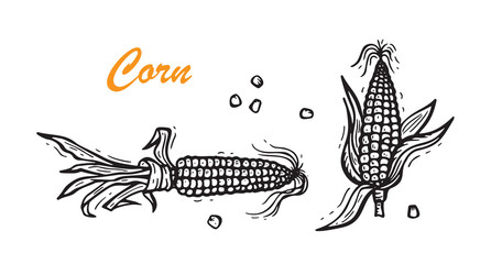 Maize. Vector Vegetable. Hand drawn doodle Corn cobs and corn grains