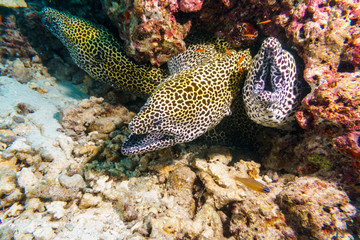 Leopard Moray eels nest on the coral reef of Maldives.