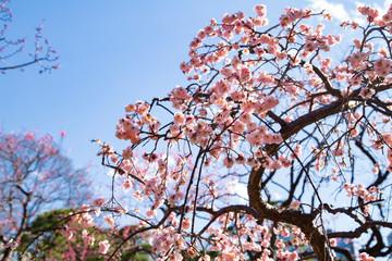 Plun blossoms in Koishikawa Korakuen Park