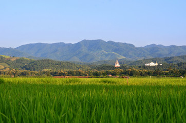 Green rice field which is the main agriculture at the north of Thailand with nature view in evening with mountain, buddha image and temple.