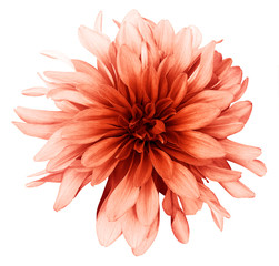 Dahlia light red flower white  background isolated  with clipping path. Closeup. with no shadows. Nature.