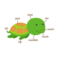 Illustration of turtle vocabulary part of body.vector