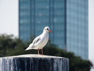 Seagull standing the marina stump with skyscraper in the background