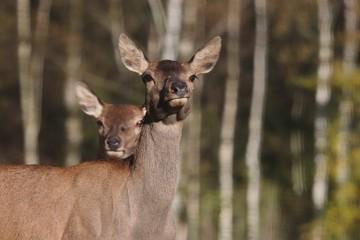 Doe, deer standing in the grass. Wildlife scene from nature.Cervus elaphus. Portrait of forest animal.