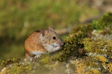 Single Striped field mouse on a ground during a spring period. Apodemus agrarius. Wildlife scene from nature