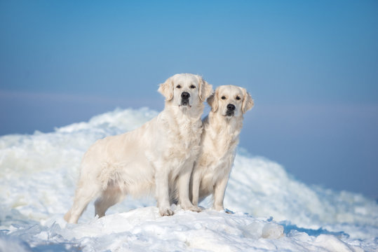 two golden retriever dogs standing on ice in winter
