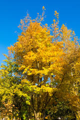 Autumn landscape. Golden leaves on blue sky background