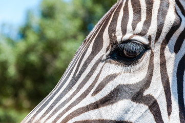 Eye of Zebra close-up