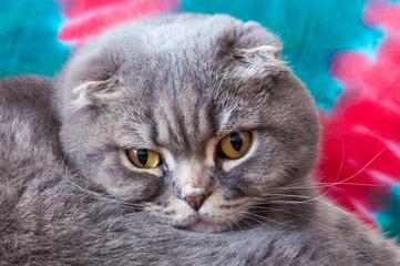 Yellow-eyed Scottish Fold male cat close-up