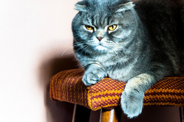 Yellow-eyed Scottish Fold male cat on a chair