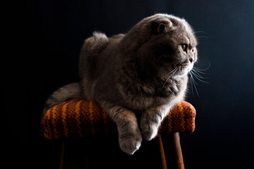 Yellow-eyed Scottish Fold male cat laying down on a chair
