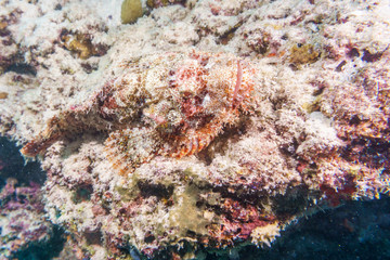 Scorpion fish is masked on a coral reef in the Indian ocean.