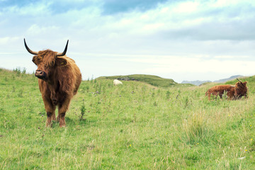 Wall Mural - Hairy scottish highlander in natural scape on a cloudy day