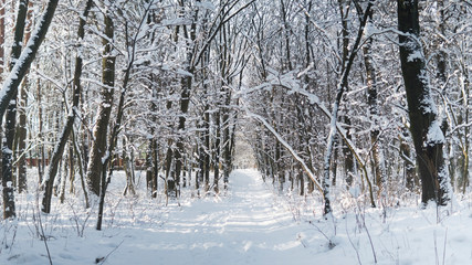 Beautiful winter forest with a trees covered with a white snow.