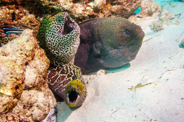 Three Moray eels in a nest on the Maldives Atoll.