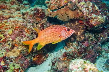Fish-squirrel (Sargocentron spiniferum)coral reef Maldives.
