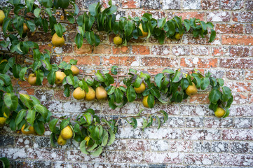 Ripe autumn pears hanging from branches growing along a weathered brick garden wall