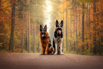 German Shepherd Dog and East European Shepherd Dog for a walk in the autumn forest