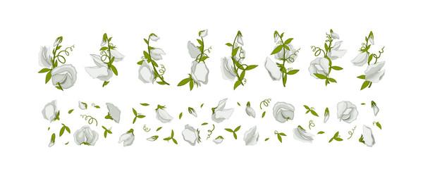 Flower for design - summer white Sweet pea.