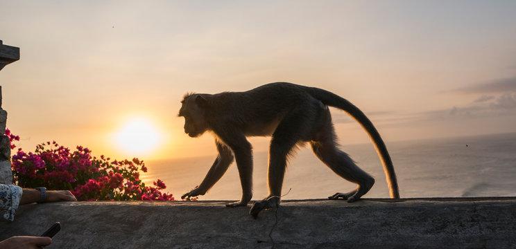 Monkey walking on a wall of uluwatu temple in Bali during sunset