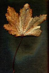 Autumn dried leaf of a plant on a black background