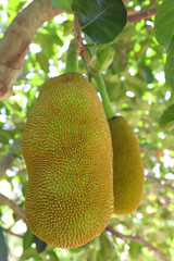 Fresh green Jackfruit ( Artocarpus heterophyllus ) hanging on brunch tree in the garden.