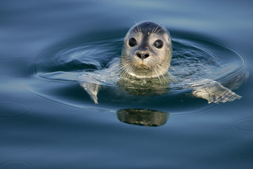 Common Seal Portrait